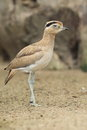 Peruvian thick knee the standing on the soil Stock Images
