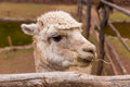 Peruvian vicuna farm of llama alpaca in peru south america andean animal llama is south american camelid Stock Image