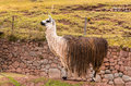 Peruvian vicuna farm of llama alpaca vicuna in peru south america andean animal is american camelid Stock Photo