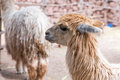 Peruvian vicuna farm of llama alpaca vicuna in peru south america andean animal is american camelid Stock Images