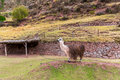 Peruvian vicuna farm of llama alpaca vicuna in peru south america andean animal is american camelid Stock Photos