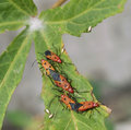 Pest a beautiful pests are mating on roselle leaf Royalty Free Stock Photos