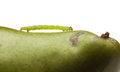 Pest caterpillar on pear macro of inchworm green isolated white Royalty Free Stock Images