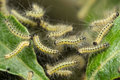 Pest caterpillars, Hyponomeuta malinella Royalty Free Stock Photo