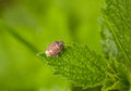 Pest shield bug macro of dolycoris baccarum on stinging nettle leaf Stock Image