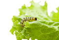 Pest yellow caterpillar on lettuce macro of crawling leaf isolated white Royalty Free Stock Images