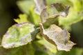 Pests plants diseases powdery mildew close up Stock Photo