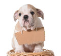 Pet adoption bulldog puppy wearing blank cardboard sign Stock Photos