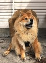 Pet chow chow dog orange seated for his portrait Royalty Free Stock Photo