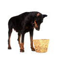 Pet dog looking for a food in basket Royalty Free Stock Images
