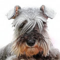 Pet dog looking long hair Royalty Free Stock Photos