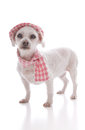 Pet dog wearing winter hat and scarf Royalty Free Stock Photo