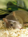 Pet gerbil sleeping Royalty Free Stock Photo