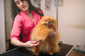 Pet groomer with comb, dog in grooming salon Royalty Free Stock Photo