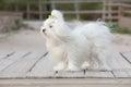Pet maltese dog Royalty Free Stock Photo