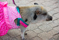 Pet pig on leash in dress Royalty Free Stock Photo