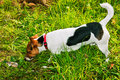 Pet puppy found a jack russel on the grass playing with a wooden stick Stock Image
