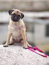 Pet purebred pug dog saxa a female is posing for a beautiful portrait Royalty Free Stock Images