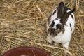 Pet Rabbit Royalty Free Stock Photo