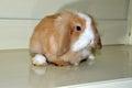 Pet rabbit angola long ear rabbit in home platform,angola Stock Photos
