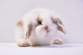 Pet rabbit angola long ear rabbit in white background,angola Stock Photos