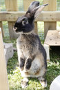 Pet rabbit sit up and beg cute black dwarf rabbits domestic sitting bunny oryctolagus cuniculus forma domestica in a wooden Stock Image