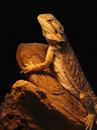 Pet shop lizard Royalty Free Stock Photos