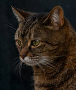 Pet tabby cat portrait a with a dark background Stock Photo