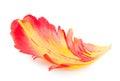 Petal of a tulip. Macro Royalty Free Stock Photo