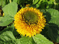 Petalled flower of sunflower (Helianthus annus) Stock Image