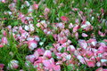 Petals carpet grass and camellia Stock Image