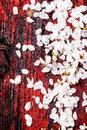 Petals of cherry tree over red and black wooden background see series Royalty Free Stock Image
