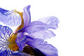 Petals of a flower of an blue iris. Royalty Free Stock Photo