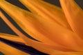 Petals of Strelitzia reginae, Bird of Paradise flower Royalty Free Stock Photo