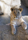 Petit animal de lion se reposant sur un outcropping de roche Image stock
