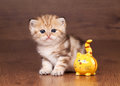 Petit chaton britannique d'or Photographie stock