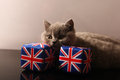 Petit chaton des Anglais Shorthair Photos stock