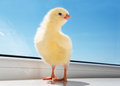 Petit poulet adorable Photographie stock