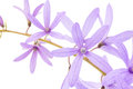 Petrea flowers queen s wreath sandpaper vine purple wreath on white Stock Photography