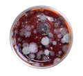Petri dish with mold Royalty Free Stock Photo