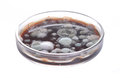Petri dish with mold Royalty Free Stock Photo