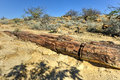 Petrified Forest, Namibia Royalty Free Stock Photo