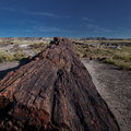 Petrified forest tree in the national park of the in arizona Stock Photo