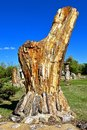 Petrified rock formed from a tree trunk Royalty Free Stock Photo