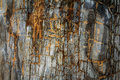 Petrified wood the texture background Stock Photo