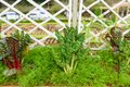 Petroselinum cripum, Parsley Royalty Free Stock Photo