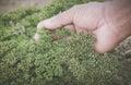 Petroselinum crispum or parsley Royalty Free Stock Photo
