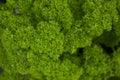 Petroselinum crispum, parsley Royalty Free Stock Photo