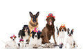 Pets carnival some dogs cats and rabbits with different hats Stock Image