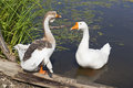 Pets geese Royalty Free Stock Photo